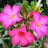 Адениум выращивание в домашних условиях