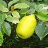 Айва продолговатая – свойства и рецепты