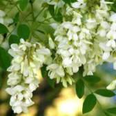 Акация белая – свойства и применение