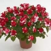 Бальзамин комнатный – размножение и уход за растением