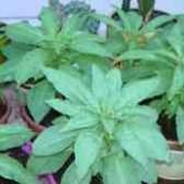 Бальзамин садовый камелия выращивание