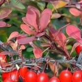 Барбарис обыкновенный в народной медицине: полезные свойства и применение