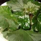 Бегония элатиор размножение листом