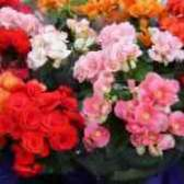 Бегония садовая фото цветов букетов
