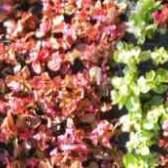 Бегония вечноцветущая на клумбе фото