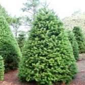 Болезни и лечение хвойных деревьев