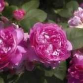 Центифольные розы (centifolia)