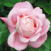 Чайные розы (rosa tea)