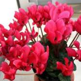 Цикломения цветок уход размножение