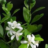 Цитрус фортунелла — гибрид мандарина и кинкана