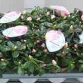 Цветочная компания азалия японская