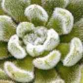 Цветок эхеверия фото уход