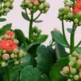 Цветок каланхоэ пересадка костного