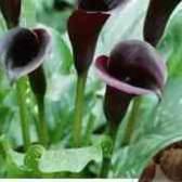 Цветок калла в горшке цена