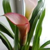 Цветок калла - выращивание