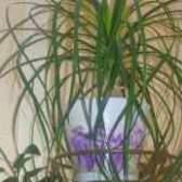 Цветок нолина бокарнея уход