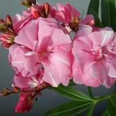 Цветок обыкновенный олеандр — растение, которое помогает бороться с пагубными привычками.
