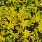 Цветок очиток морганатический