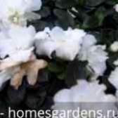 Цветы азалии видео