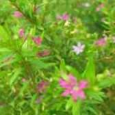 Цветы куфея фото