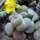 Цветы литопсы фото