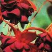Фуксия семейство паслёновых