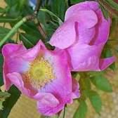 Гибриды розы рубигинозы, или ржавчинной (r. Rubiginosa l. = r. Eglanteria l.)