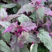 Гинура — сложноцветное тропическое растение
