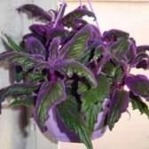 Гинура: уход за гинурой — радость цветовода