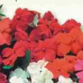 Импатиенс цветок