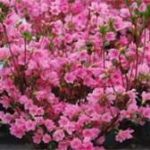 Индийский цветок — азалия