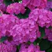 Ядовита ли гортензия розовая