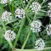 Ядовитый плющ растение лечение простатита
