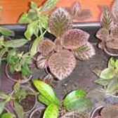 Эсхинантус каролина фото уход в домашних условиях
