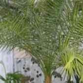 Как пересадить финиковую пальму после покупки