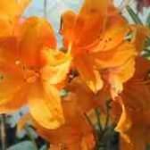 Как пересаживать цветущую азалию