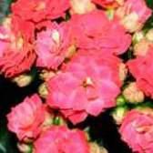 Как растить каланхоэ цветущий