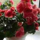 Как размножать бегонию вечноцветущую
