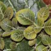 Как сажать глоксинию листомания