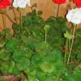 Как выглядит цветок пеларгония фото