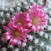 Кактусы цветущие — нетребовательные растения