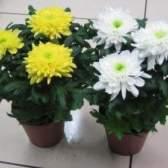 Комнатная хризантема: уход в домашних условиях за горшком