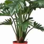 Комнатное растение филодендрон фото