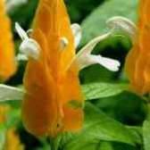 Комнатное растение пахистахис уход