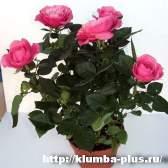 Комнатные розы - уход, размножение.