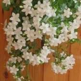 Комнатный цветок колокольчик — выращиваем с любовью