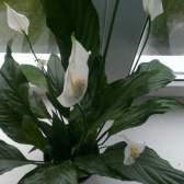 Комнатный цветок - спатифиллум. Уход, приметы и все такое