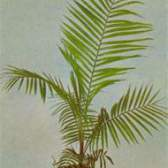 Компактная пальма сиагрус