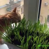 Кот-цветовод: о зеленых витаминах для котов и кошечек