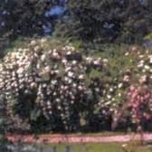 Ковровые цветники из роз